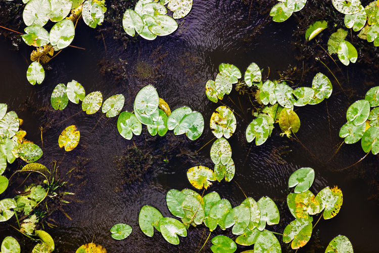 Green water lily pads in dark water. Botany Freshness Green Leaf Lilies Lily Lily Pads Lilypads Nature Nature Plant Water