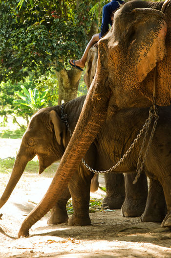 Animal Trunk Asian Elephant Baby Elephant Elephant Elephant Reserve Thailand Wildlife