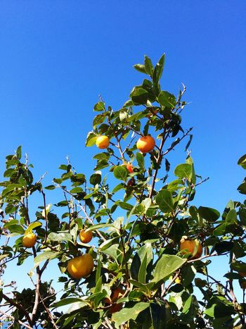 хурма Leaf Fruit Blue Food And Drink Food Low Angle View Growth Ripe Tree Branch Citrus Fruit Orange Tree Freshness Apple Tree Close-up Healthy Eating Orange - Fruit Clear Sky High Section Nature