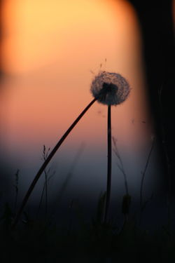 The Purist (no Edit, No Filter) Flower Silhouette Dandelion Meeting Point Togetherness Two In One Fragility Fight Dispute Hurt Ache Close-up Sunset Nature No People Plant Outdoors Beauty In Nature Day No Distance 1
