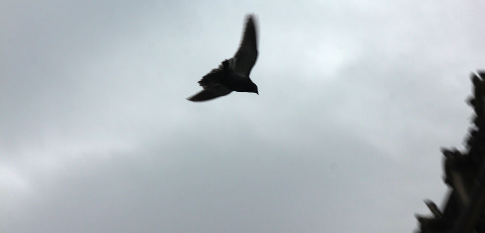 Photos taken in and around Toronto, New Years 2019. Animal Bird Flying Sky Spread Wings Nature Motion Cloud - Sky Silhouette Mid-air Outdoors Overcast Animal Themes Vertebrate Low Angle View No People Pigions