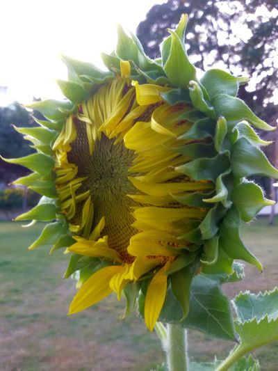 Beauty In Nature Close-up Day Flower Flowering Plant Focus On Foreground Freshness Green Color Leaf No People Outdoors Plant Plant Part Sunflower Yellow