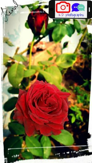 Red Rose First Eyeem Photo