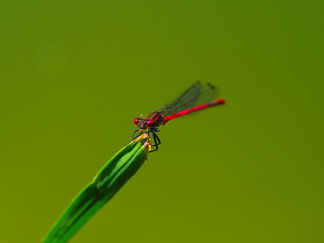 Animal Themes Animal Wildlife Animals In The Wild Close-up Damselfly Day Green Color Heidelibelle Insect Nature No People One Animal Outdoors