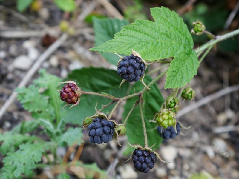 Fruit Food And Drink Plant Leaf Nature Green Color Outdoors Close-up No People Day Healthy Eating Freshness Growth Agriculture Food Tree Beauty In Nature Branch Blackberry - Fruit Strawberryplant Crop
