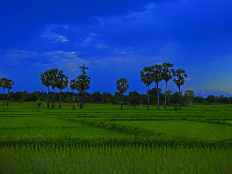 Field Agriculture Beauty In Nature Cornfield Cornfield And Sky Cornfield With Blue Sky Crop  Day Farm Field Green Color Growth Landscape Nature No People Outdoors Rice - Cereal Plant Rice Paddy Rural Scene Scenics Sky Tranquil Scene Tranquility Tree