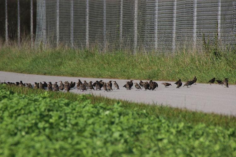 Stare Sammeln Sich Animal Themes Animal Wildlife Animals In The Wild Birds_collection Einige Gehen Zu Fuss Large Group Of Animals Nature Stare