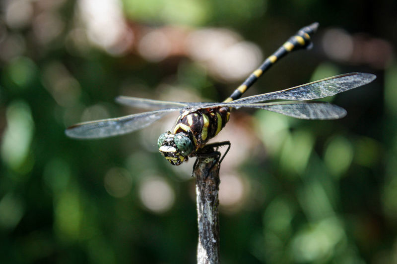 Large dragonflies stand on wooden branches