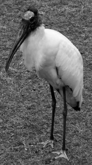 Maximum Closeness No People Unusual Beauty Full Framed Close-up Beauty In Nature Representing Monochrome Photography Storks In The Wild Birdporn Stork Mean Avian Urban Exploration Taking Photos Hello World Black And White Zen-like Birdwatching B&w Nature B&W Collections The Portraitist - 2017 EyeEm Awards