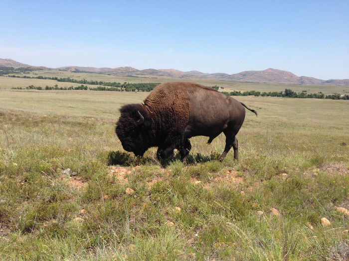 Side view of bison in field