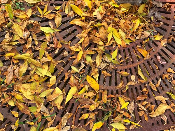 Fall Leaves on a Rusty Grate Autumn Backgrounds Beauty In Nature Change Close-up Day Dry Fall Beauty Fallen Field Fragility Full Frame Leaf Leaves Maple Leaf Metal Nature Open Edit Outdoors Rusty Goodness Season  Still Life Tranquility Vibrant Color Yellow