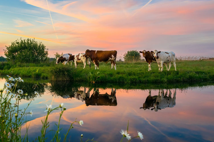 Cows drinking water in lake during sunset