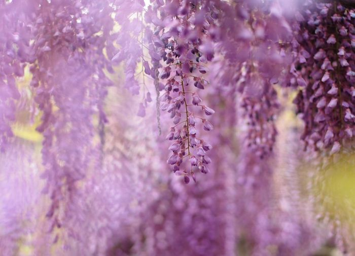 Close-up of purple flowers on tree
