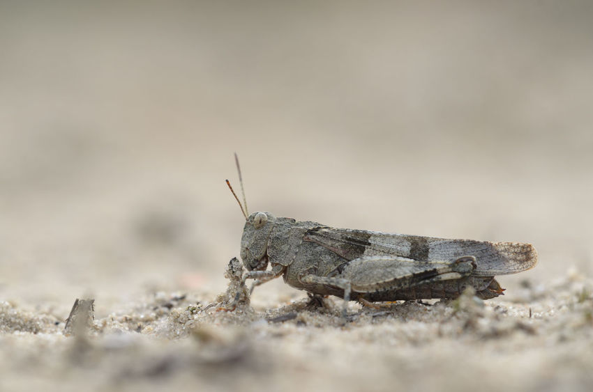 Blue-winged grasshopper - Oedipoda caerulescens Animal Themes Animal Wildlife Animals In The Wild Blue-winged Grasshopper Close-up Day Grasshopper Insect Nature No People Oedipoda Caerulescens One Animal Outdoors