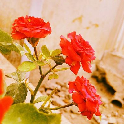 Travel Ontheroad Flower Flowers Rosé Roses 3roses Beautiful Takeapicture Loveit Coimbatore