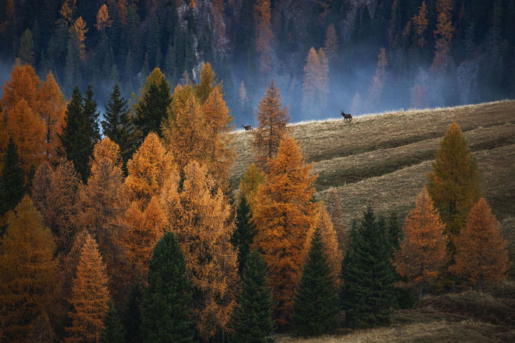 Scenic view of forest during autumn with deer on grass
