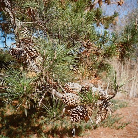 Taking Photos Real Film Lubitel 166+ Ishootfilm Medium Format California Drought Twin Lens Reflex Dry Pine Cones