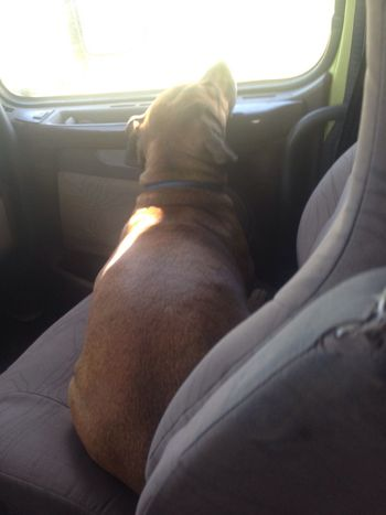 Precious in comfort as co pilot Canadian Sight Seeing With Precious Rhodesian Ridgeback Cross