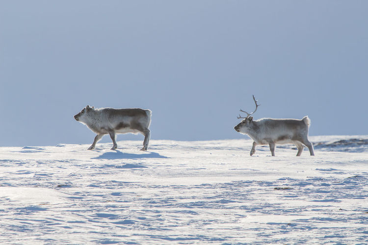 Side view of deer walking on snow field against clear sky