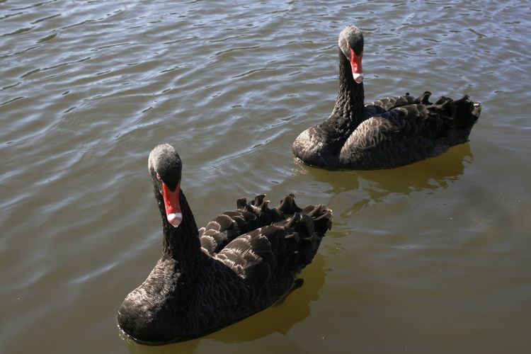 Black Swans on Torrens Lake, Adelaide, South Australia Animal Themes Animal Wildlife Animals In The Wild Australian Swans Beak Bird Black Swan Day Lake Nature No People Outdoors Pair Of Swans Swan Swimming Two Birds Two Swans Water Water Bird