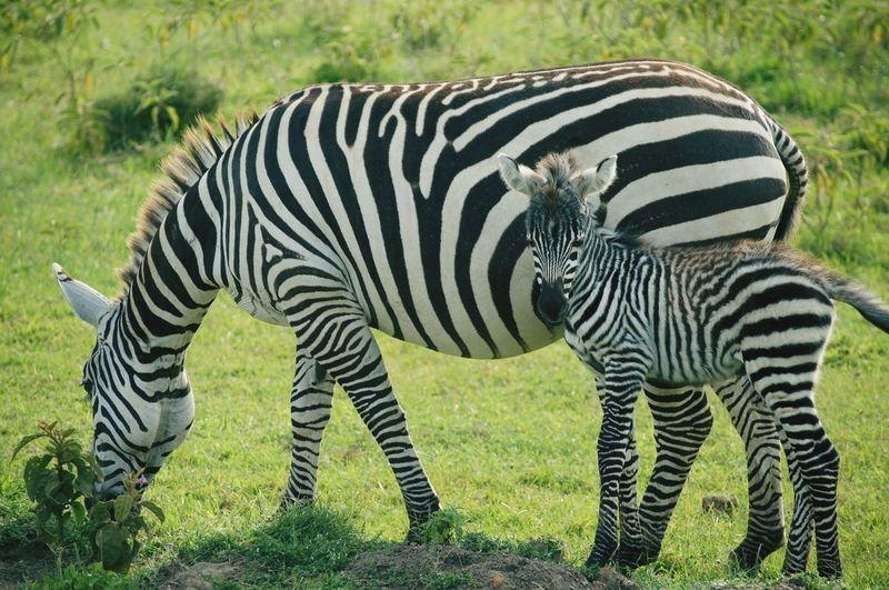 Zebra and child grazing on field