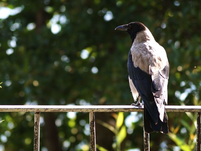 Rear view of crow perching on fence