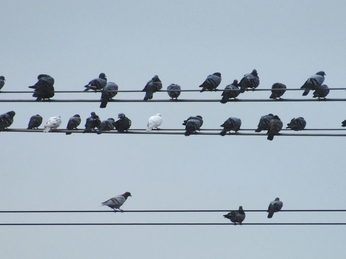 Low angle view of pigeons perching on cable against sky