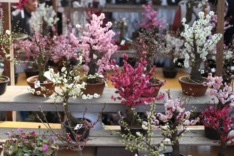 Beauty In Nature Cherry Flower Garden Japan Japanese  Kairakuen Kairakuengar Nature Nature_collection Plum Plumblossom Sakurablossoms Sand Spring Tokyo Ume Umeblossom