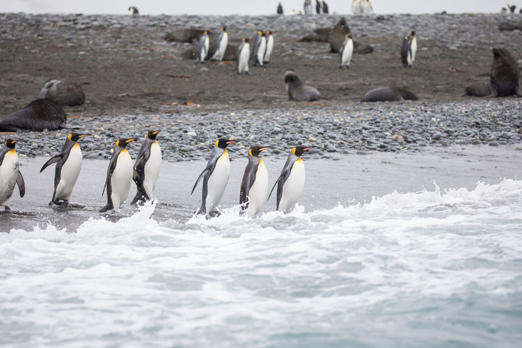 Animal Animal Themes Animal Wildlife Animals In The Wild Beach Bird Day Group Of Animals Ice Land Large Group Of Animals Motion Nature No People Outdoors Penguin Sea Vertebrate Water
