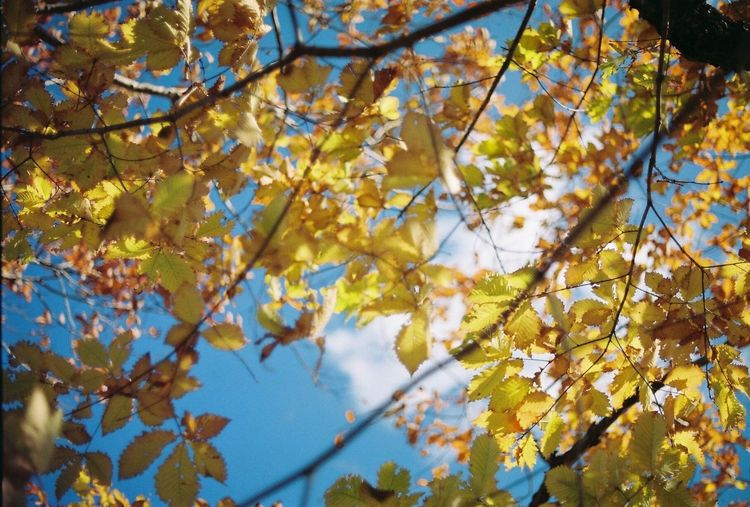 Autumn Nature Tree Low Angle View Beauty In Nature Close-up Leaf Yellow Outdoors Sky EyeEm Gallery Filmphoto EyeEm Nikonphotography EyeEmbestshots EyeEm Best Shots Cloud - Sky Filmphotography NoEditNoFilter EyeEmBestPics Eyeemphotography Film Beauty In Nature Film Photography Eyeemgallery