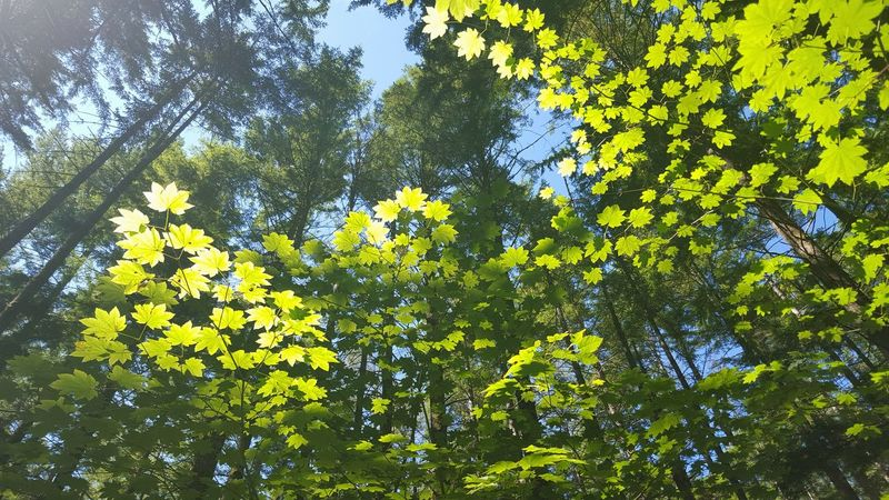 Backlit Forest Fresh Air Green Green Green Green!  Green Leaves Hiking Leaves Light Light And Shadow Nature Nature Photography Outdoors Sunlight Trees Washington Trees_collection Looking Up Bright Color Pallette The Great Outdoors - 2017