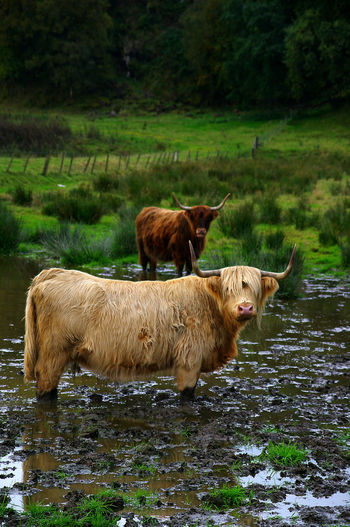 Highland cattle in pasture