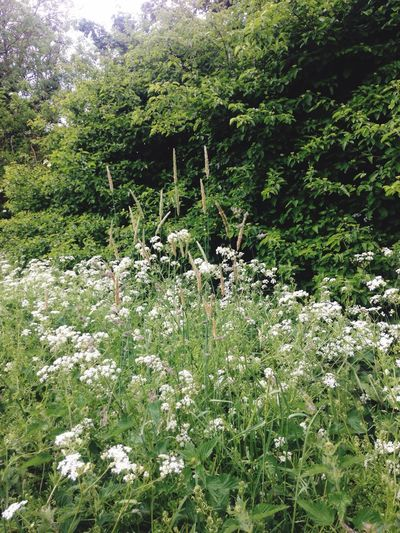 Cow Parsley Grasses And Bushes Green Nature Nature_collection Going For A Walk Beauty In Nature Tranquility Taking Photos Hello World Enjoying Life Check This Out Nature No People