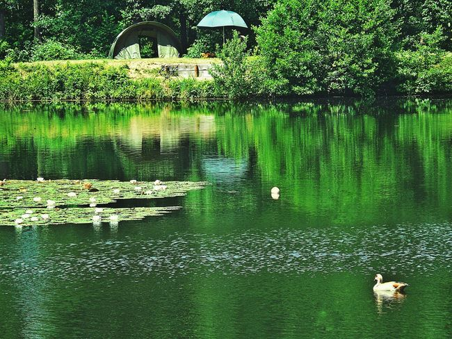 Angler's Paradise Summer Impressions Forest Lake Lakeside Carpet Of Water Lilies Water Reflections In The Water Light And Shadows Green Color All Shades Of Green Tent By The Lake Birds Ducks In Water Animals In The Wild Day Outdoors Birkenweiher Langenselbold Germany🇩🇪 The Great Outdoors - 2017 EyeEm Awards