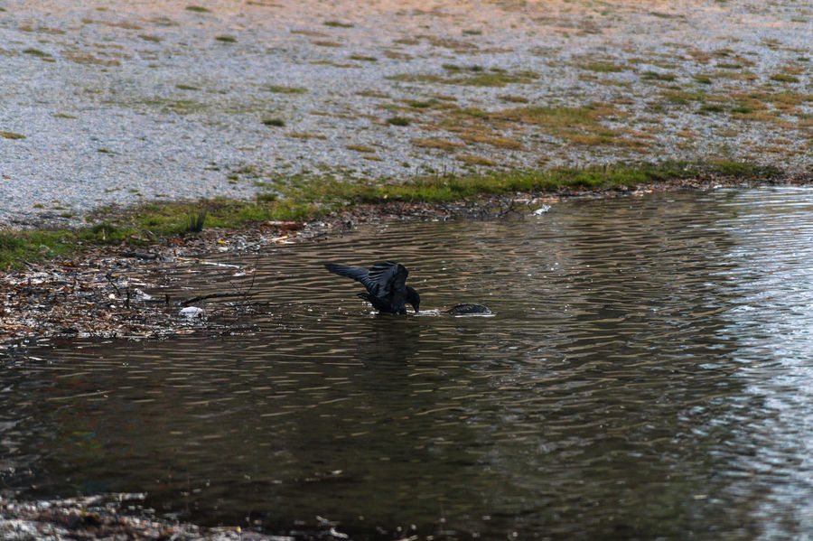 Catching fish - Part III Animal Photography Animals In The Wild Beautiful Animals  Bird Photography Birdwatching Capture The Moment Crow Eye4photography  EyeEm Best Shots EyeEm Birds EyeEm Nature Lover Fauna Flora From My Point Of View Interesting Nature Photography Raven Wildlife Wildlife & Nature