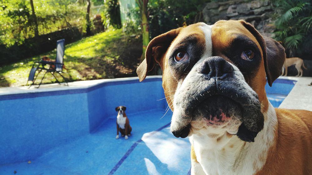 Gala Boxer Dogs Mydogsarecoolerthanyourkids Life's Simple Pleasures...