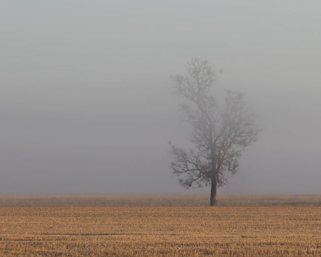 Foggy Tree Bare