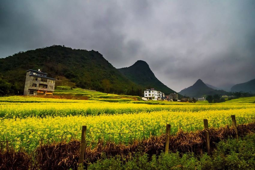 Canola field, rapeseed flower field with the mist in Luoping, China Luoping Rain Rapeseed Field Aerial View Agriculture Architecture Beauty In Nature Canola Canola Field Cloud - Sky Crop  Day Farm Field Fog Growth Hill Landscape Mist Mountain Mountain Range Nature No People Outdoors Rapeseed Oil Rapeseed Yellow Tadaa Rural Scene Scenics Sky Tourism Tranquil Scene Tranquility Tree Village