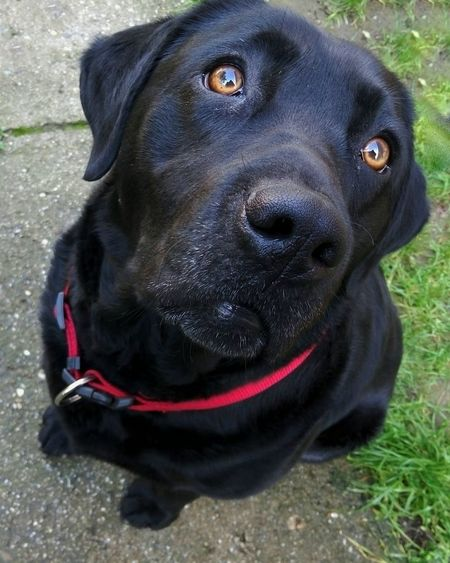 That look! Dog Labrador Black Dog Puppy Eyes That Look Eyes Labs Black Labrador
