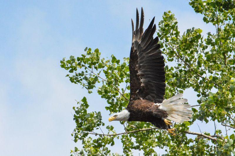 Flying Bradleywarren Photography Bradley Olson Brainerd Nature Birds Of Prey Birds Eagle Bald Eagle The Great Outdoors - 2016 EyeEm Awards