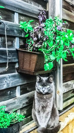 Cat♡ Chartreux Croquette Basilique Persil Jardin Sweet Home♡