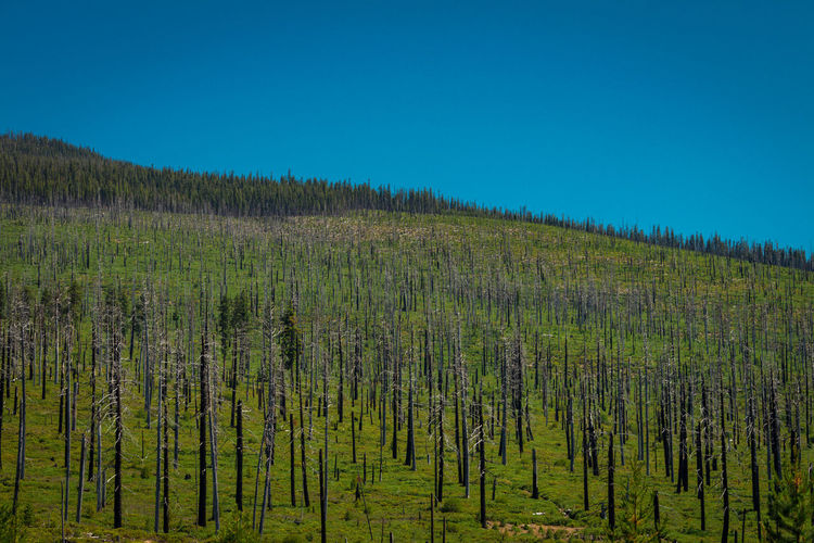 Burned trees in Central Oregon Burned Damage Destruction Planet Earth Blue Clear Sky Coniferous Tree Damaged Environment Fire - Natural Phenomenon Forest Green Color Growth Land Landscape Nature No People Non-urban Scene Outdoors Pine Tree Pine Woodland Plant Pollution Tranquil Scene Tree