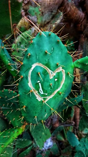 Green Heart Bold Heart Carved Cactus High Angle View Close-up Green Color Plant Spiked Spiky Thistle