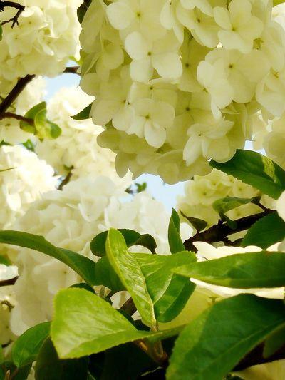 Viburnum Macrocephalum Leaf Plant Sunny Day 🌞 Growth Outdoors Beauty In Nature