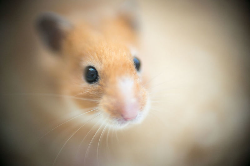 Animal Themes Close-up Day Domestic Animals Hamster Indoors  Looking At Camera Macro Photography Mammal No People One Animal Pets Selective Focus Syrian Hamster  Whisker