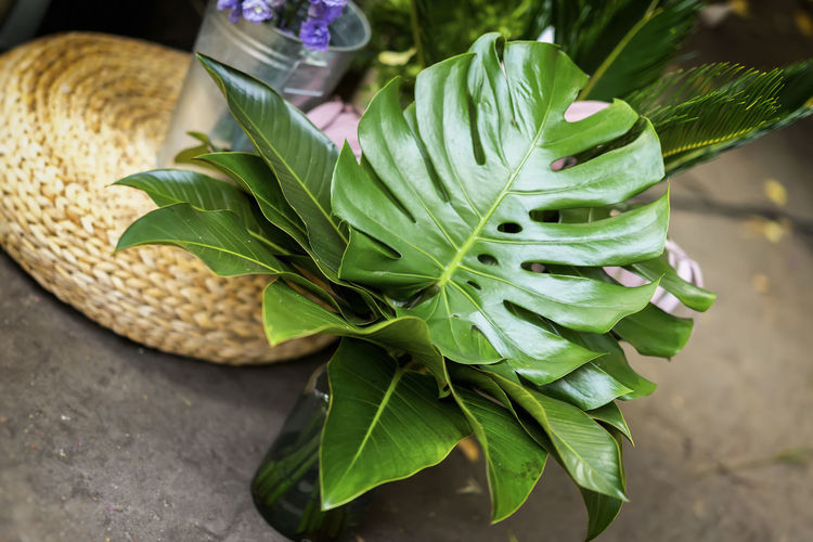 Bouquet of fresh monstera, green tropical leaves in glass vase, real flower market, diagonal background Exotic Green Palm Palm Leaf Beauty In Nature Bouquet Close-up Food Freshness Green Color Growth Leaf Leaves Monstera Nature No People Plant Plant Part Still Life Tropical