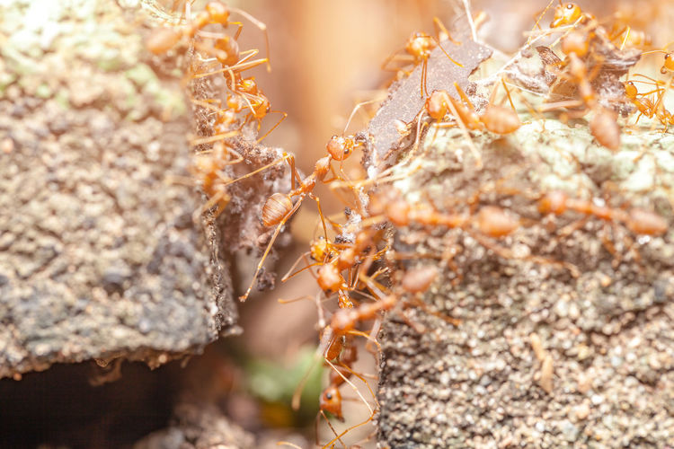 red ant Ant Red