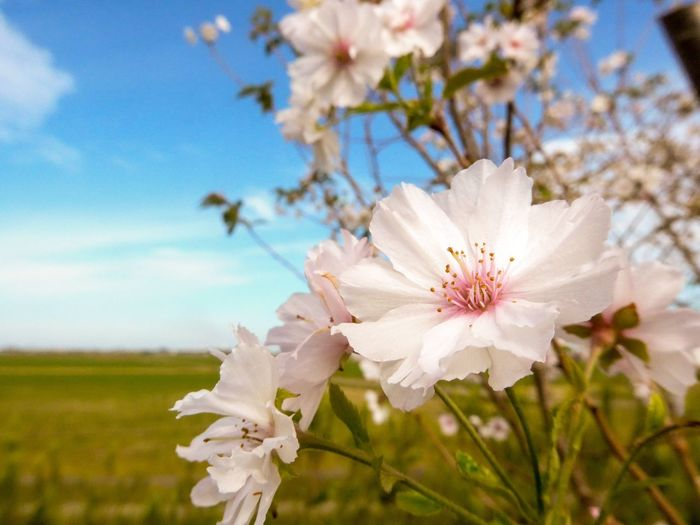 10月桜 桜 寒桜 10月桜 EyeEm Selects Plant Flowering Plant Flower Growth Beauty In Nature Freshness