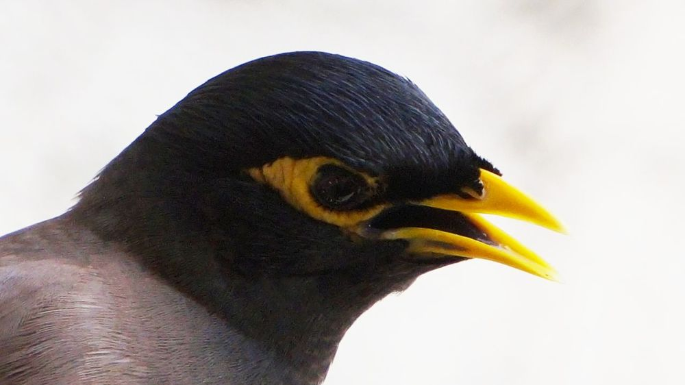 The myna (also known as mynah) is a bird of the starling family (Sturnidae) Bird Photography Birds Of EyeEm  Birdwatching Myna Myna Birds Nature On Your Doorstep Animal Head  Animal Themes Beak Bird Bird Of Prey Birds_collection Close-up Day No People One Animal Outdoors Perching Photo Photography Photooftheday Portrait Portrait Of A Bird Side View White Background