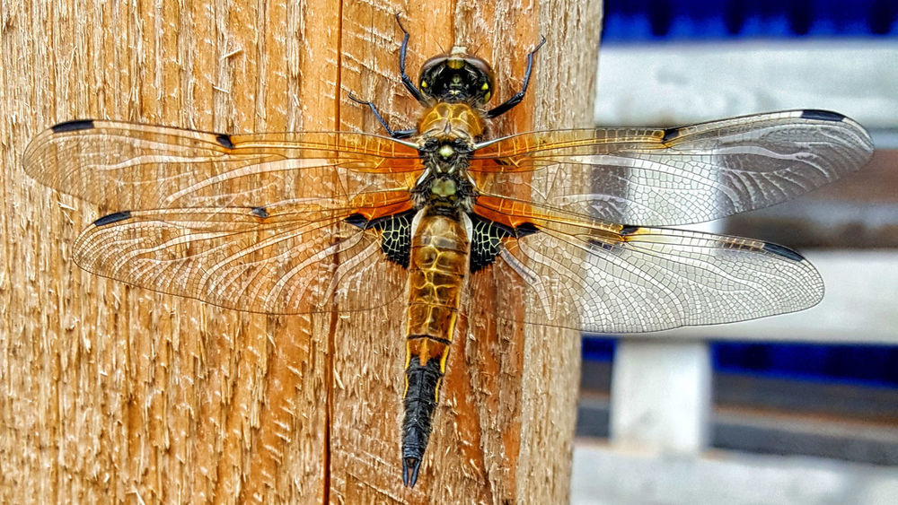 dragonfly Animal Themes Animal Wing Close-up Detail Focus On Foreground Insect Nature Wildlife